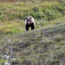 Grizzly Bear foraging for food in Alaska