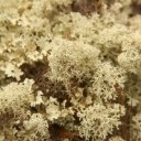 Lichen growing near the Arctic Circle