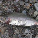 Alaskan-Salmon-nickname-Humpy