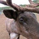 Reindeer-in-northern-Alaska