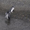 penguins-beagle-channel