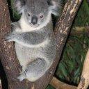 Koala in sanctuary outside of Brisbane