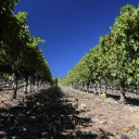 blankiet-vineyard