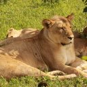 Lion Chobe National Park