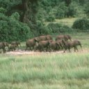 A herd of female elehants and calves roams the Chobe plain