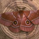 Eye spots on the wings of this moth are intended to scare predators away