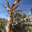 bristlecone-pine-trees
