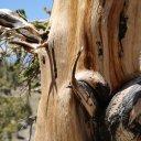 bristlecone-pine-white-moutain