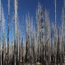 lassen-burned-trees