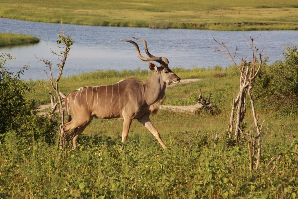 Kudu in Chobe National Park Botswana
