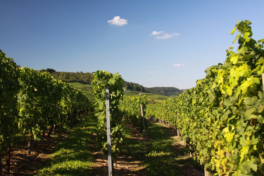 Vineyard in the Mosel Region of Luxembourg