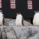 Three Penguins perched perfect, Port Lockroy Antarctica