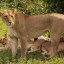 Lions resting in Botswana