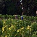 the-vineyards