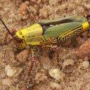 Tropical-grasshopper-in-the-Kakum-rainforest-Cape-Coast