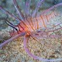 guam-lionfish