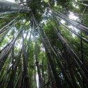 Bamboo Forest near Hana, Maui