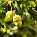 acorns-lesotho