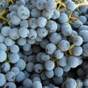 The grape that has made Napa famous, Cabernet Sauvignon