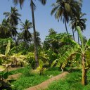 A plantation of coconuts, bananas, and guava in the flood plain of the coastal Dhofar mountains