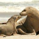 Australian Seals on Kangaroo Island, Australia