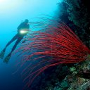 Red Whip Coral, Wakatobi, Indonesia