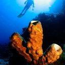 Sponge and diver, Papua New Guinea