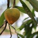 canistel-fruit