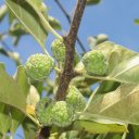 che-fruit