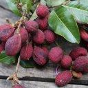 korlan-fruit