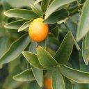 kumquat-fruit