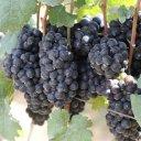 shiraz-winegrape