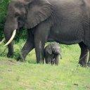 elephant-baby