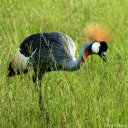 gray-crowned-crane