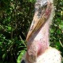marabu-stork
