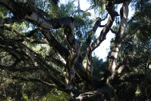 los-osos-oaks-state-reserve-2