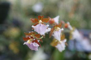 orchids-santa-barbara-2
