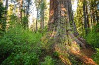 Gold Country, CA – Calaveras Big Trees