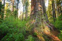 Gold Country, CA – Calaveras Big Trees