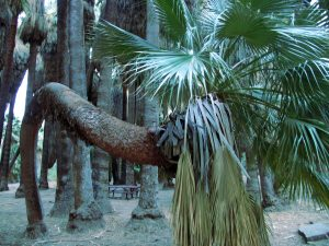 "A really neat looking Palm in ""Palm Canyon"""