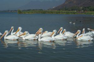 Lake-Chapala-Pelicans