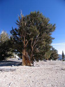 Bristlecone-Pine-Tree-California