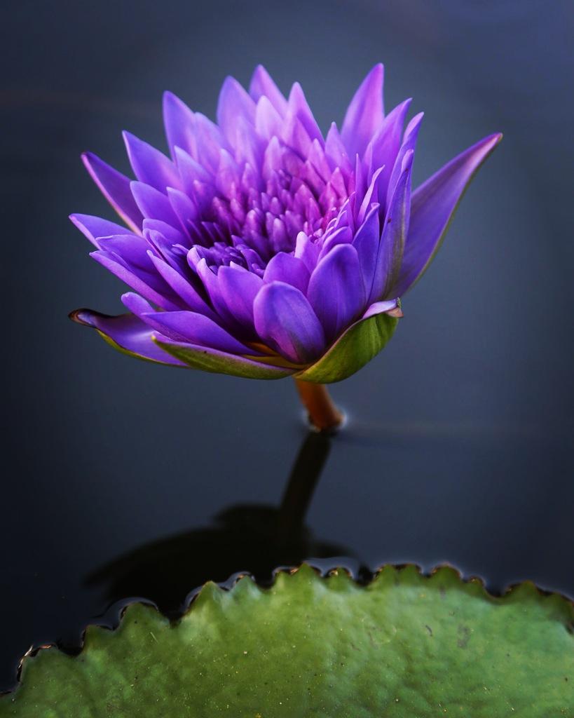 lotus-thailand