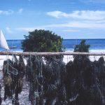 Zanzibar-Seaweed