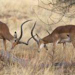 Two impala rams on dispute
