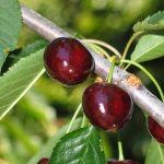 normal_Cherries