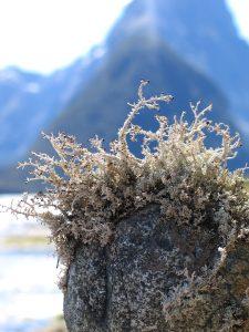 New-Zealand-Moss