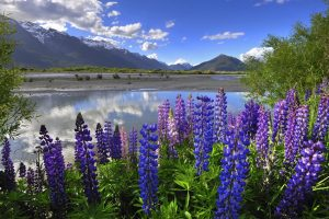 Lupine-New-Zealnd