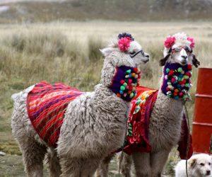 Sunglass-Llamas