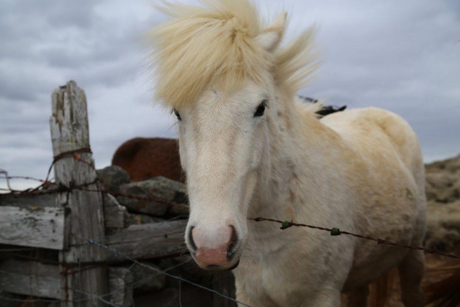 horse-iceland